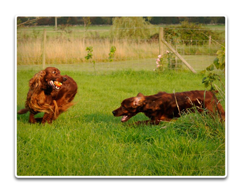 Clonageera Irish Setters